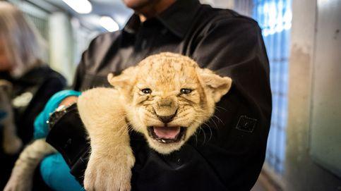 Cría de león en el  Zoológico de Copenhague