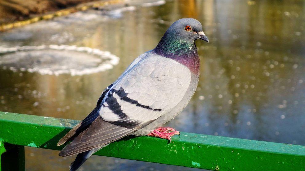Investigadas 3 personas por atrapar 600 palomas en Valdepeñas (Ciudad Real)