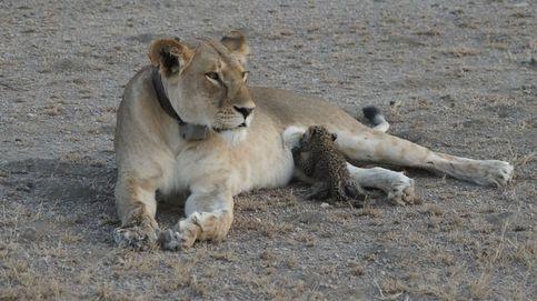 Nunca visto en la naturaleza. La leona que alimenta a un pequeño leopardo