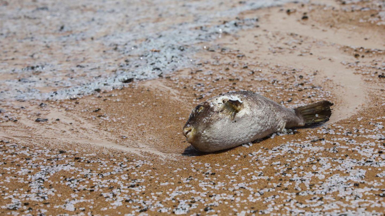 Playa de Sri Lanka con peces muertos entre bolitas de poliestireno. (Reuters)