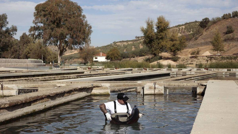 Un empleado revisa el estado de un esturión en la piscifactoría. (Colectivo Verbena)