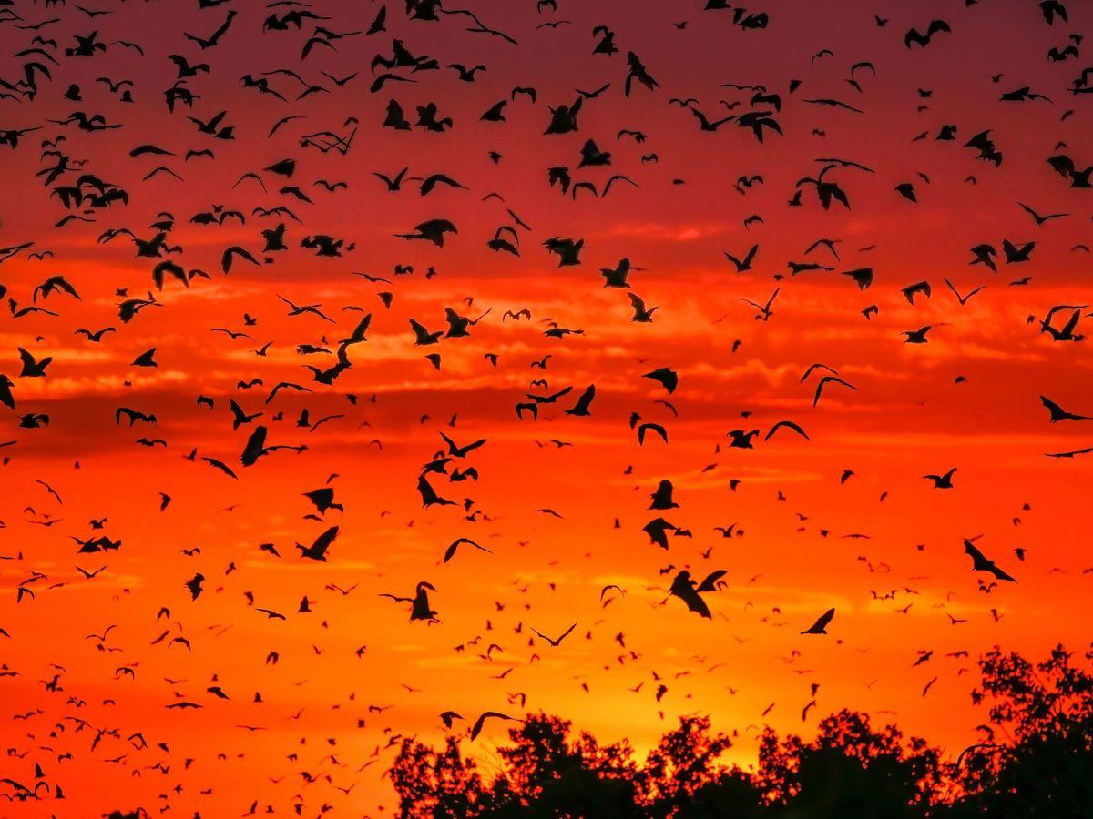 Foto: Una colonia de murciélagos en México. (EFE)