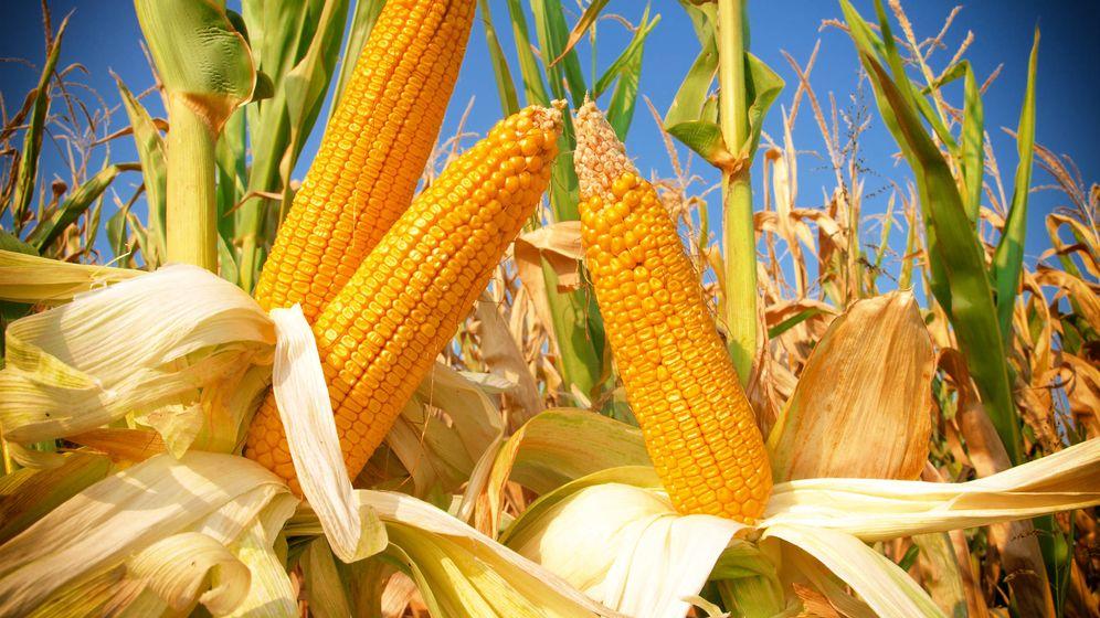 Foto: Mazorcas de maíz. (iStock)