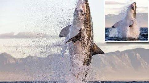 El instante en el que un gran tiburón blanco salta para cazar una foca