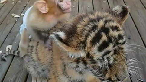 Dos inseparables (e inesperados) amigos: un macaco y un cachorro de tigre