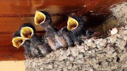 Ojo con derribar nidos de golondrina porque puede salir muy caro