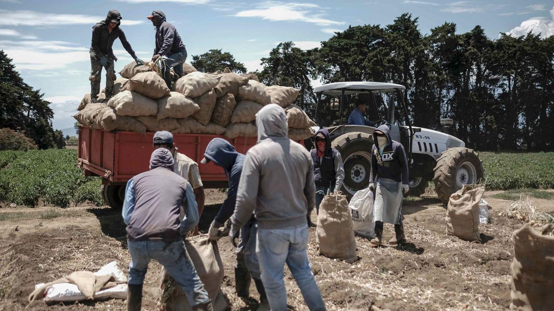 Temporeros recogen patatas en una explotación. (EFE)