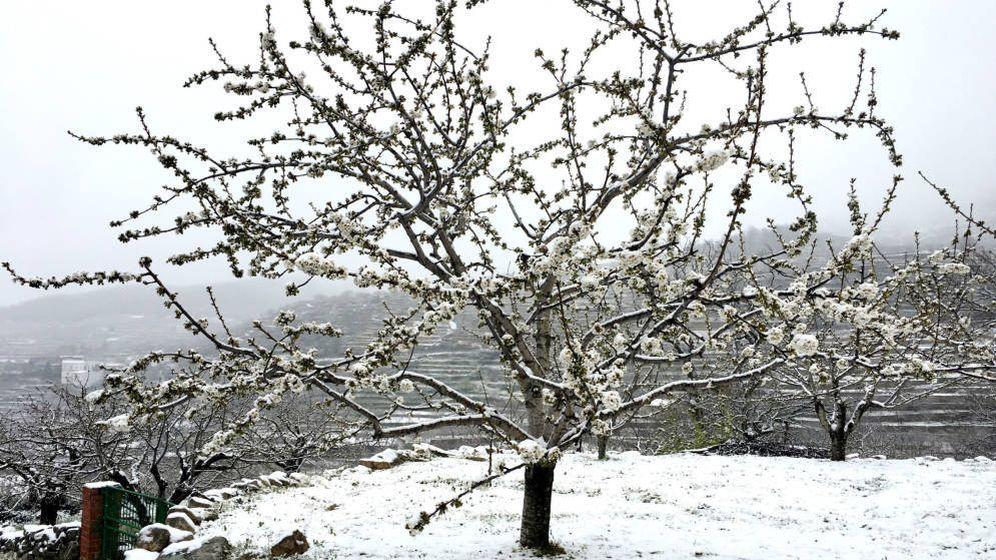 Foto: Un cerezo en flor tras una nevada primaveral el año pasado. (EFE)