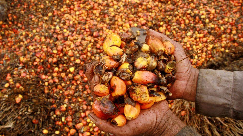 Foto: Un trabajador muestra frutos de palmera aceitera en la aldea de Topoyo, en Sulawesi, Indonesia, en marzo de 2017. (Reuters)