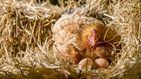 """El santuario que separa a los gallos de las gallinas """"para que no las violen"""""""