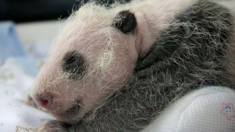 Los bebés de oso panda nacen sin cocinar y nadie sabe por qué