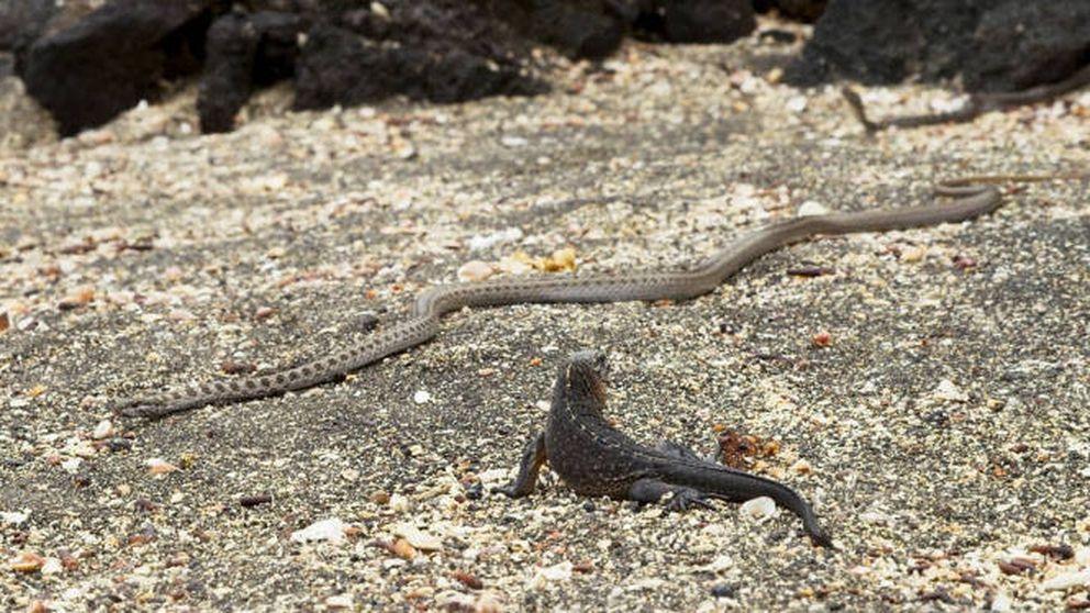 Iguana vs. serpientes, la mejor escena de naturaleza de la historia llega a #0