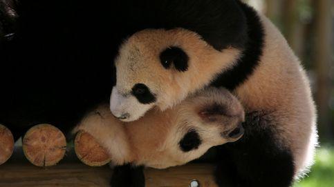 Chulina, la nueva oso panda de Madrid, saluda por primera vez al público