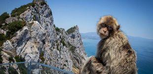 Post de Gibraltar impone multas de 4.400 euros para proteger a sus sagrados macacos del covid-19