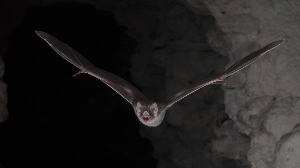 Foto: Un vampiro común (Brock Fenton)