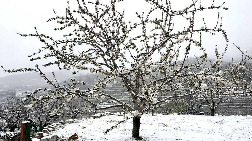 Foto: Un cerezo en flor cubierto por la nevada primaveral. (EFE)