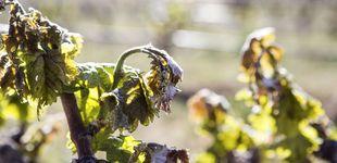 Post de Las heladas arruinan el vino gallego