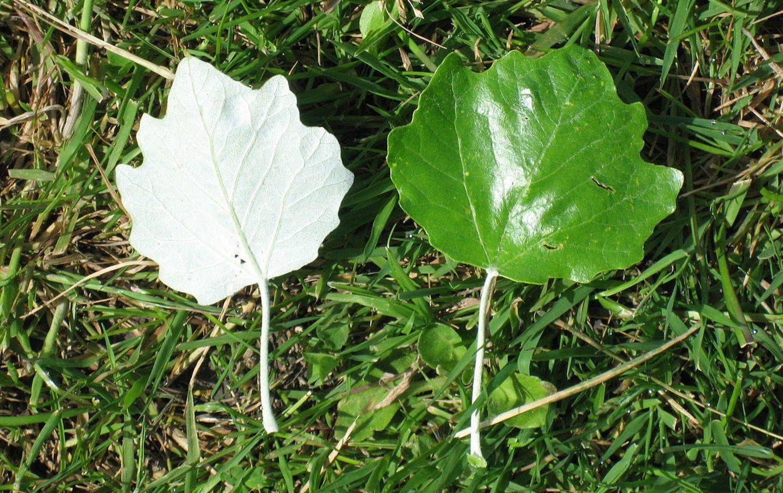 Puedes reconocer estas plantas presentes en espa a por for Como se llaman los arboles que no pierden sus hojas