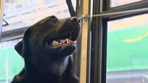 Este perro no necesita dueño para ir al parque, él solo coge el autobús
