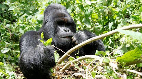 El asesino de Rafiki, el famoso gorila de Uganda, condenado a 11 de años de cárcel