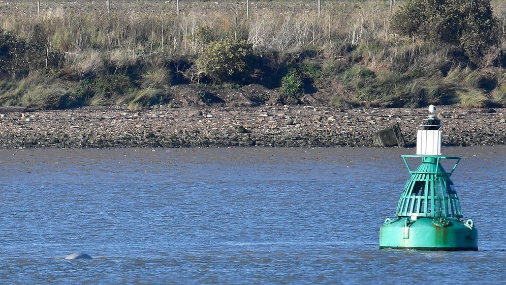 Foto: Labeluga, cerca de una boya del río (Reuters/Toby Melville)