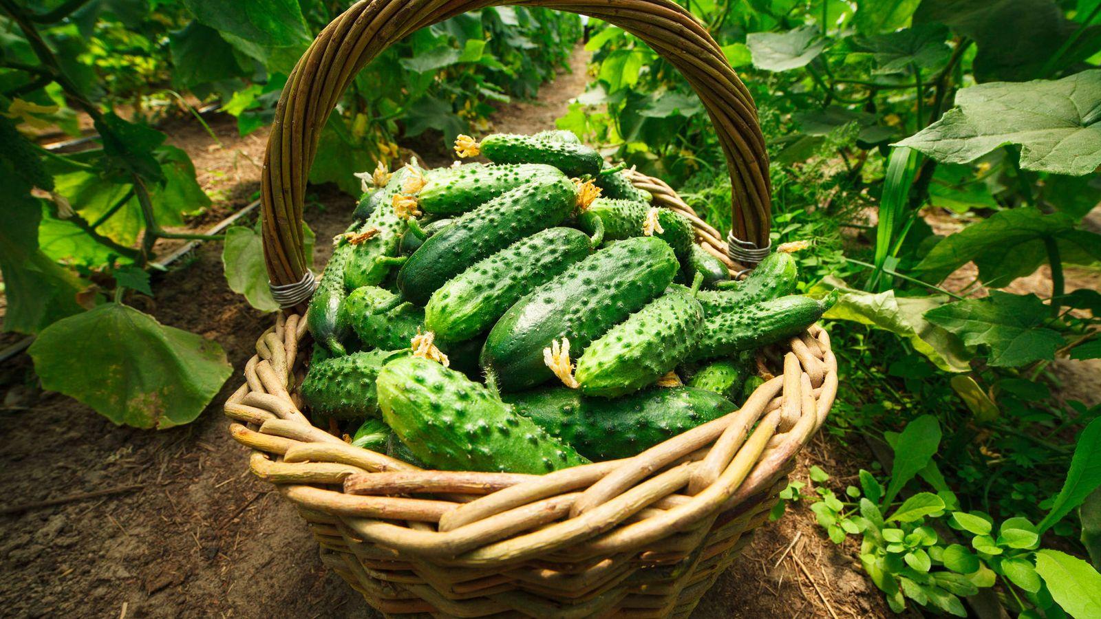 Foto: Pepinos recién cosechados. (iStock)