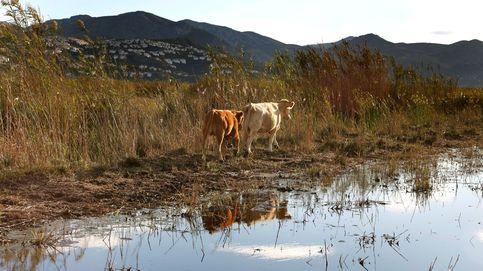 Testan el uso de vacas para impulsar los humedales