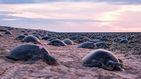 Miles de tortugas anidan en la Gran Barrera de Coral de Australia