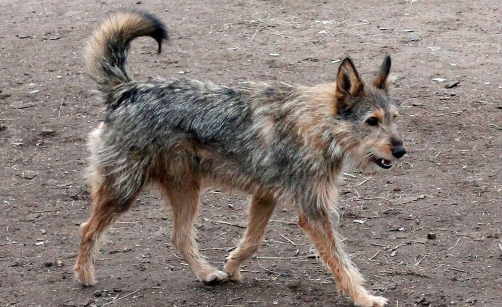 Foto: Se calcula que hay dos millones de perros callejeros en las 11 sedes del Mundial de Rusia. (EFE)