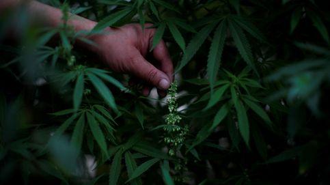 Los grandes bufetes rompen el tabú y se lanzan a explotar el negocio del cannabis