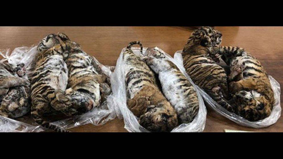 Foto: Los tigres aparecieron muertos en el interior de un coche (Foto: Cites.org)