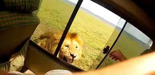Post de Un turista intenta acariciar a un león y se arrepiente al segundo