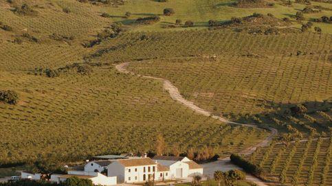 Persiguiendo el mejor aceite de oliva virgen extra del mundo