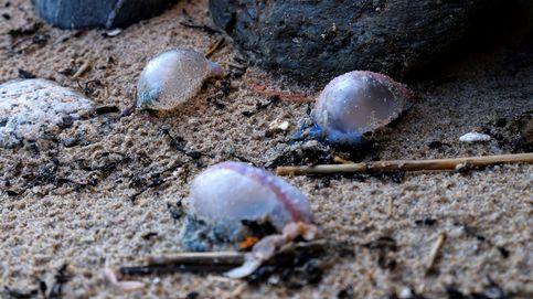 Las carabelas portuguesas obligan a cerrar ya seis playas de Ferrol