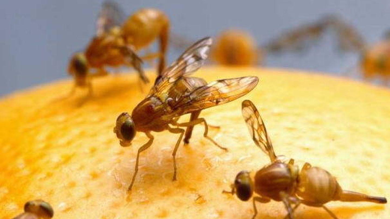 La mosca de la fruta hace la vida imposible a las naranjas cuando hace calor.