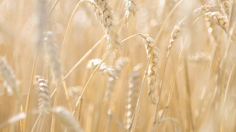 Foto: El trigo es mal aliado de los pacientes con enfermedad celiaca (Corbis)