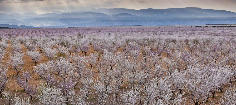 Foto: Cultivo de almendros en flor en Andalucía. (Corbis)