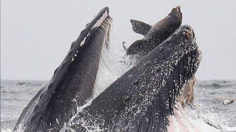 ¿La foto del año? Una ballena se mete en la boca un león marino