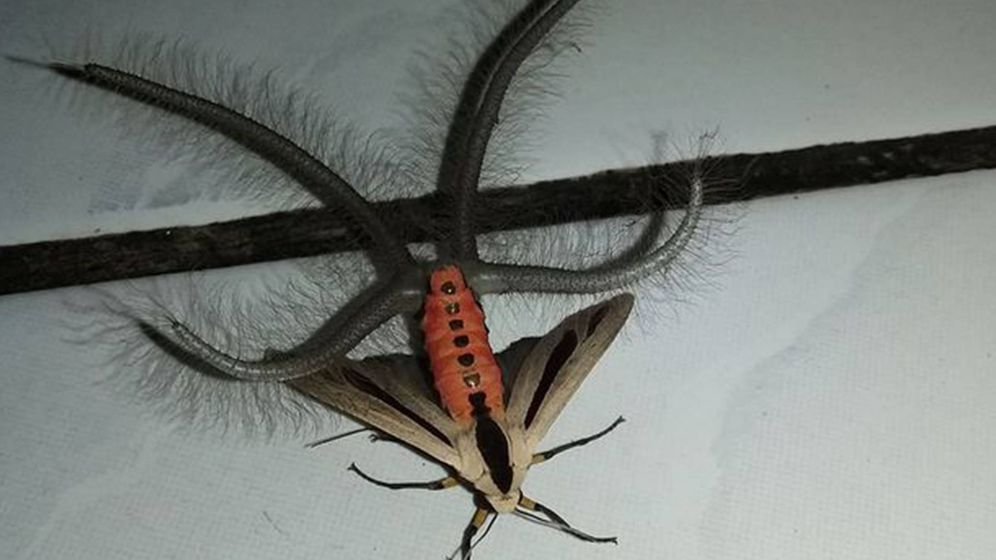 Foto:  Insecto encontrado en Indonesia