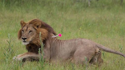 El extraño caso de las leonas 'transgénero' a las que les crece la melena