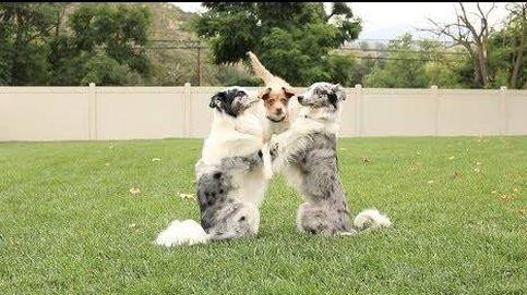 Cuando pedir 'la patita' no es suficiente: los increíbles trucos de los perros sincronizados