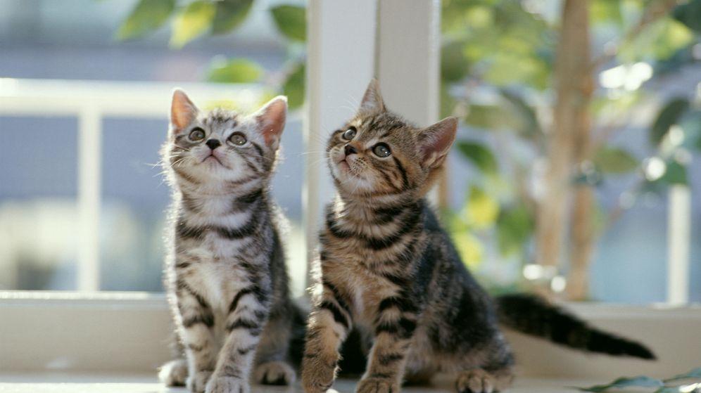 Foto: Por qué nos fascinan los vídeos de gatitos en internet