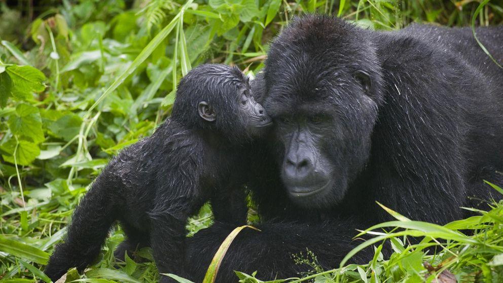El truco evolutivo de los gorilas de montaña para evitar su extinción