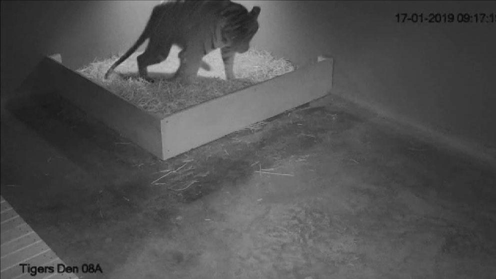 Nacen tres tigres de Sumatra en un zoo de Sídney