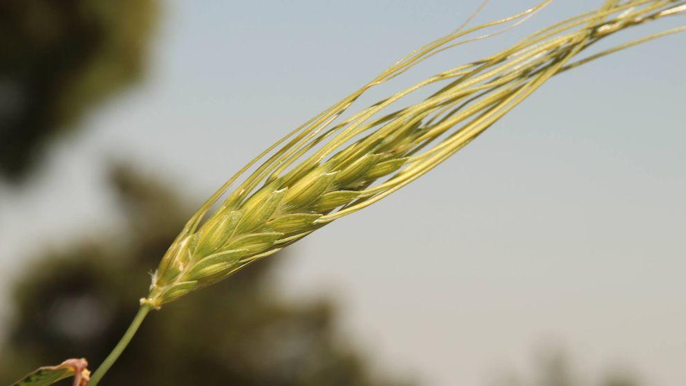 Este descubrimiento genético puede hacer al trigo más resistente a la sequía