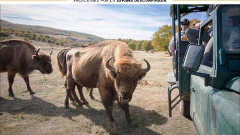 Bisontes en pleno Burgos: descubre este safari al paleolítico