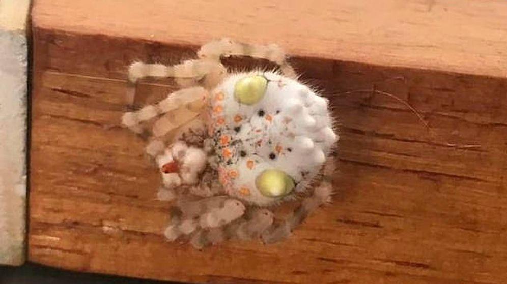 Foto: El aspecto de la araña desde arriba es mucho más parecida al sushi que a un arácnido (Foto: Facebook)
