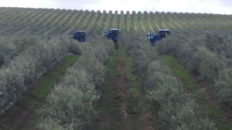 Finca de olivar superintensivo.
