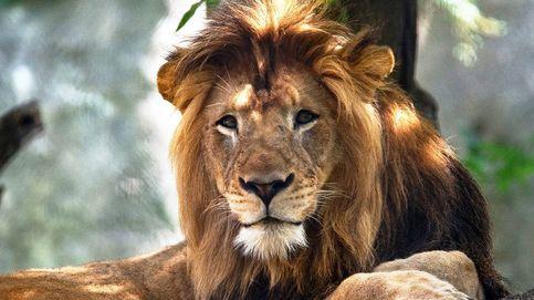 La leona del zoológico de Indianápolis mata al padre de sus tres cachorros