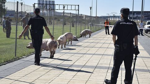 Un camión cargado de cerdos vuelca en Soria
